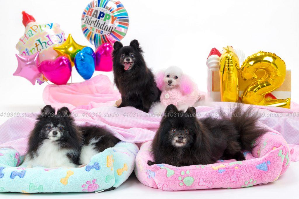 犬撮影スタジオの写真 ポメラニアン トイプードル