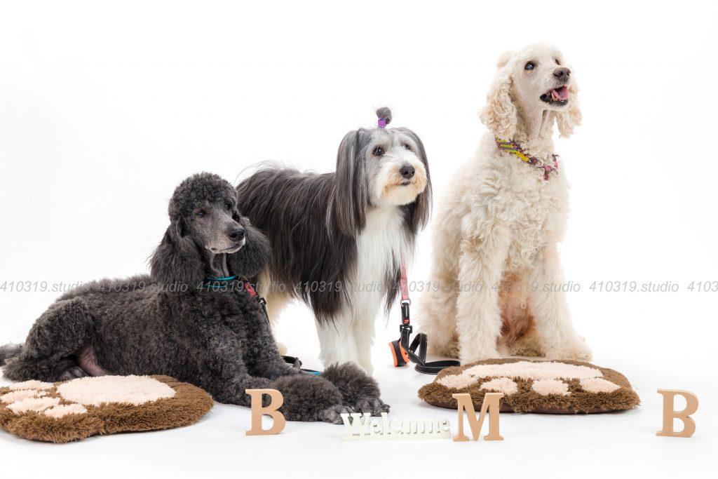 犬撮影スタジオの写真 スタンダードプードル、ビアデットコリー