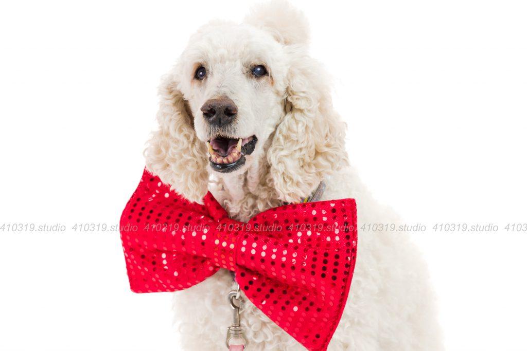 犬撮影スタジオの写真 スタンダードプードル