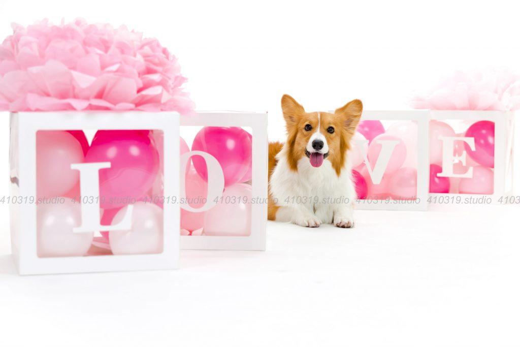 犬撮影スタジオの写真 コーギー