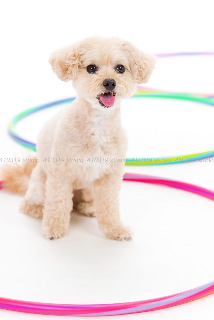 犬撮影スタジオの写真 ミックス犬 マルチーズとトイプードル
