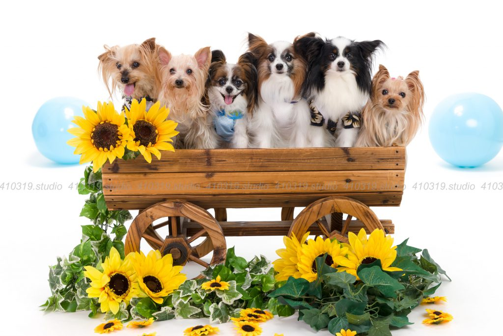 犬撮影スタジオの写真 パピヨンとヨーキー