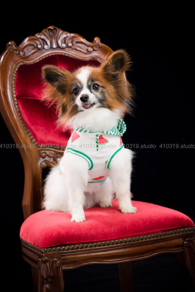 犬撮影スタジオの写真 パピヨン