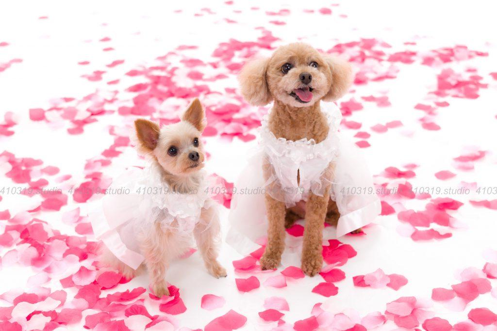 犬撮影スタジオの写真 ヨーキーとトイプー