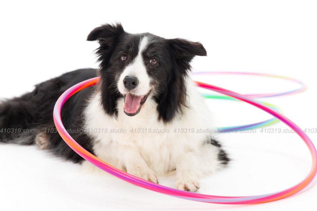 犬撮影スタジオの写真 ボーダーコリー