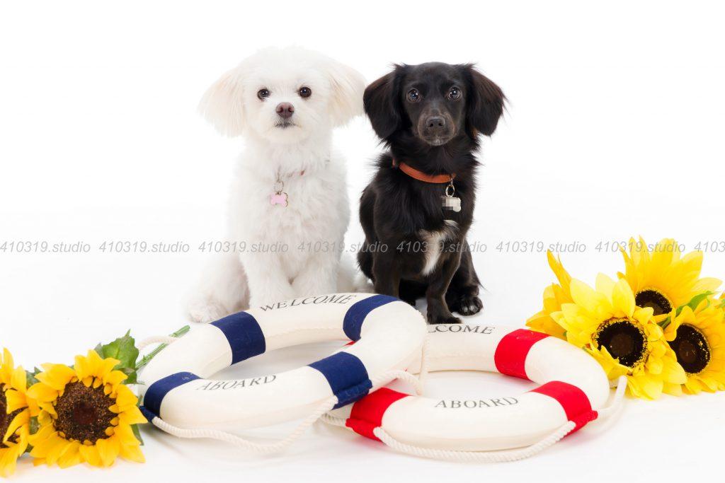 犬撮影スタジオの写真 ミックス犬