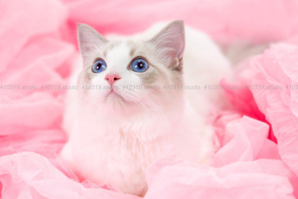 猫撮影スタジオの写真 猫 ラグドール