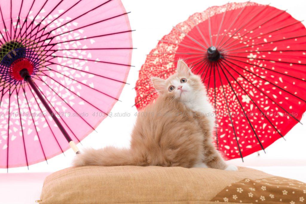 猫撮影スタジオの写真 猫 ノルウェージャンフォレストキャット