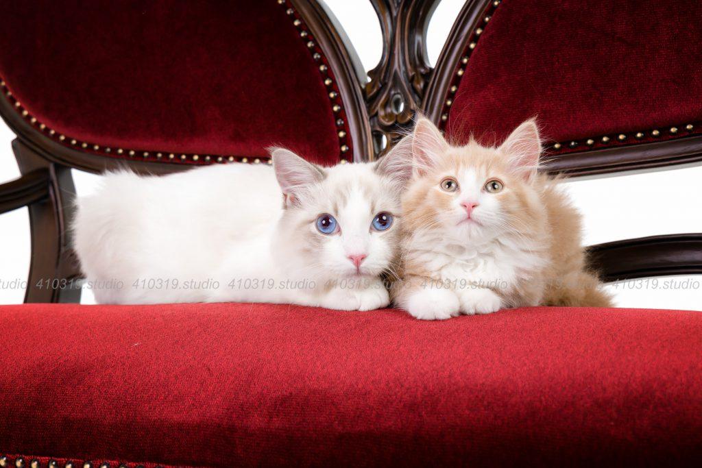 猫撮影スタジオの写真 猫 ノルウェージャンフォレストキャット ラグドール