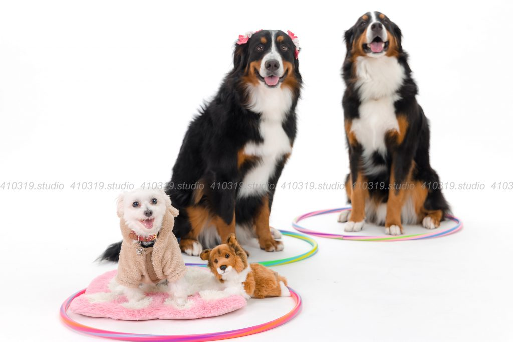 犬撮影スタジオの写真 バーニーズとマルチーズ