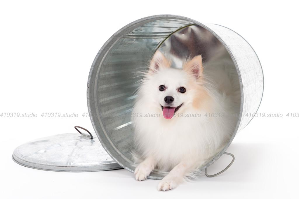ミックス犬(ポメラニアン と スピッツ) 410319.studio