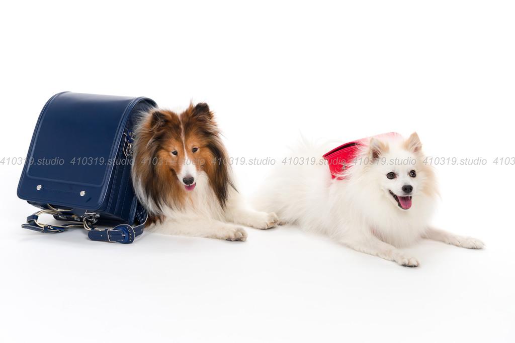 ミックス犬(ポメラニアン と スピッツ)とシェルティー 410319.studio