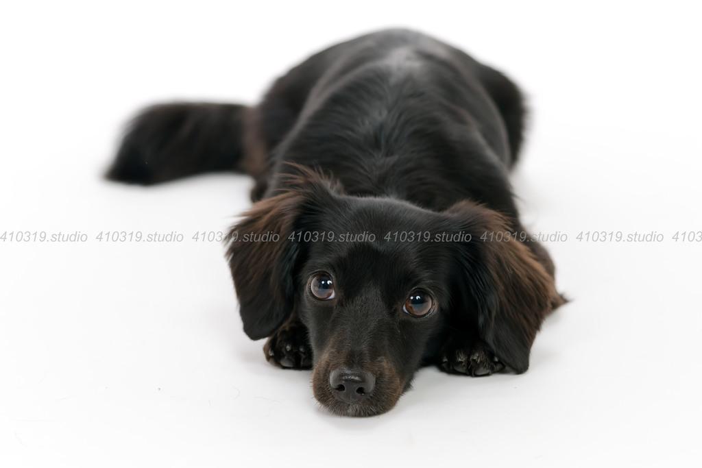 ミックス犬 チワックス 410319.studio